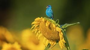 Wildlife Bird Sunflower Flower Yellow Flower 2048x1489 Wallpaper
