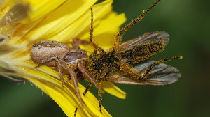 Arachnid Crab Spider Fly 2090x1651 Wallpaper