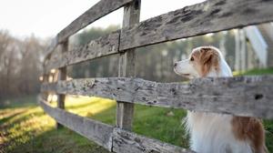 Border Collie Dog Fence Pet 3840x2160 Wallpaper