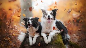 Border Collie Dog Fall Leaf Pet 1920x1200 Wallpaper
