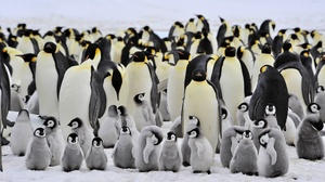 Animal Baby Animal Bird Penguin 2560x1440 Wallpaper