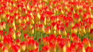 Earth Tulip 2560x1440 wallpaper