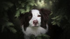 Dog Pet Stare Welsh Sheepdog 2048x1366 Wallpaper
