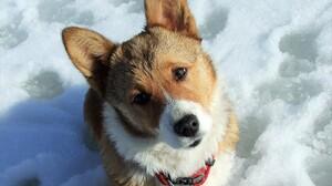 Animal Corgi Cute Dog Pet Snow 1920x1200 Wallpaper