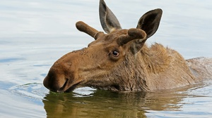 Elk Water Animals Mammals 2048x1365 Wallpaper