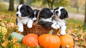 Baby Animal Basket Dog Pet Pumpkin Puppy 2000x1334 Wallpaper