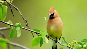 Bird Cedar Waxwing Branch 2560x1700 Wallpaper