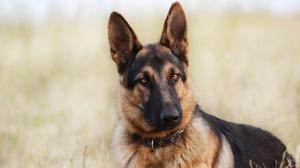 Dog German Shepherd Pet 1920x1280 wallpaper