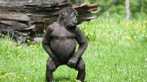 Animal Gorilla 1920x1200 Wallpaper