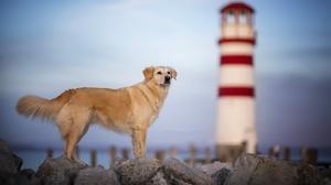 Depth Of Field Dog Golden Retriever Pet 2048x1365 Wallpaper