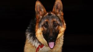 Dog German Shepherd 1920x1080 Wallpaper