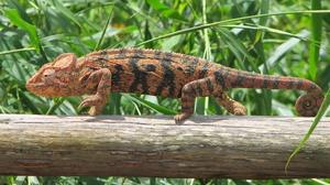 Animal Chameleon 2432x1721 Wallpaper