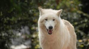Arctic Wolf White Wolf Wildlife Wolf 3840x2527 Wallpaper