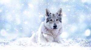 Stare Wildlife Wolf Predator Animal 2048x1365 Wallpaper