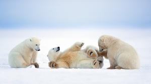 Baby Animal Polar Bear Snow Wildlife 2048x1365 wallpaper