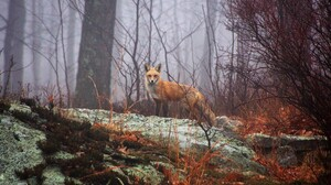 Animals Mammals Fox Wildlife Mist Forest Fall Wet Dew 2970x1971 Wallpaper