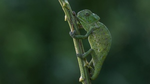 Chameleon Lizard Reptile Wildlife 2560x1600 Wallpaper
