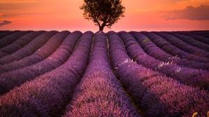 Field France Lavender Nature Provence Purple Flower Summer Sunset Tree 8153x5436 Wallpaper