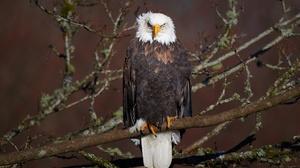 Bald Eagle Bird Bird Of Prey Eagle Wildlife 2000x1323 wallpaper