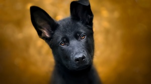 Baby Animal Dog German Shepherd Muzzle Puppy Stare 2048x1365 Wallpaper