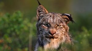 Animal Lynx Wildlife Predator Animal 1920x1200 wallpaper