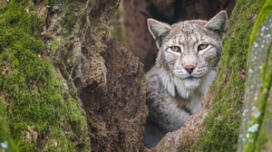 Big Cat Lynx Wildlife Predator Animal 1920x1280 wallpaper