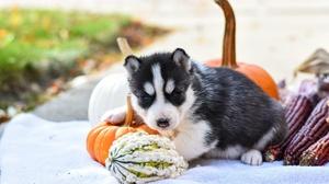 Baby Animal Dog Husky Pet Pumpkin Puppy Siberian Husky 6000x4000 Wallpaper