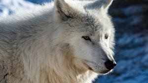 Arctic Wolf Wildlife Wolf Predator Animal 6144x4282 Wallpaper
