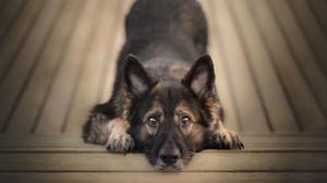 Dog German Shepherd Pet Stare 5241x3494 Wallpaper