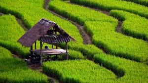 Field Rice Paddy Landscape Grass Plants Green 3840x2130 Wallpaper