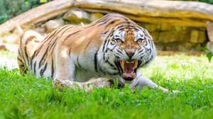 Nature Wildlife Feline Big Cats Mammals Tiger 4096x2730 Wallpaper