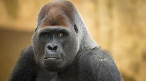 Gorilla Monkey 2560x1600 Wallpaper