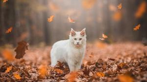 Cat Depth Of Field Fall Leaf Pet 2000x1333 Wallpaper