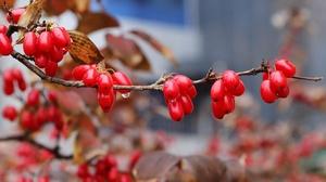 Berry Macro Branch Dogwood Water Drop 6240x4160 Wallpaper