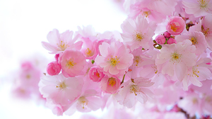 Nature Hans Braxmeier Cherry Blossom Flowers 2560x1600 Wallpaper