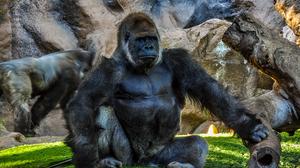 Animal Gorilla 6432x4272 Wallpaper