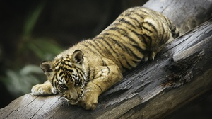 Wildlife Cub Baby Animal Big Cat 2048x1462 Wallpaper