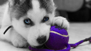 Dog Husky Puppy 3608x2632 wallpaper