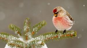 Animal Bird Common Redpoll Snow 1920x1200 Wallpaper