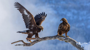 Bird Eagle Nature Snow Winter 1920x1200 wallpaper