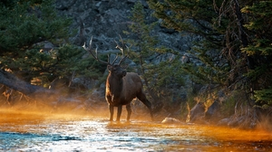 Animal Elk 1920x1200 wallpaper