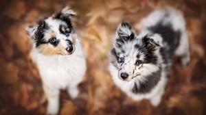 Baby Animal Border Collie Dog Pet Puppy 2048x1365 Wallpaper
