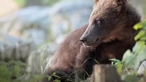 Bear Wildlife Predator Animal 3376x2701 Wallpaper