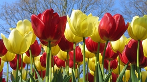 Flower Red Flower Tulip Yellow Flower 2560x1600 wallpaper