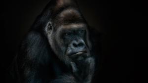 Gorilla Primate 2000x1381 Wallpaper