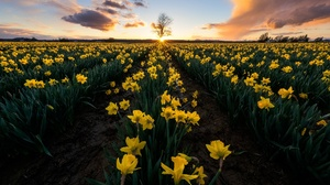 Daffodil Field Flower Nature Summer Yellow Flower 2048x1309 Wallpaper