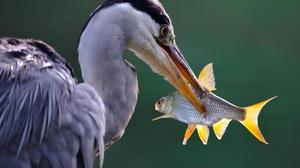Bird Fish Heron Wildlife 4269x2984 wallpaper