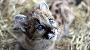 Baby Animal Cougar Cub Face 1920x1080 Wallpaper