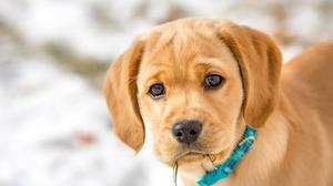 Baby Animal Dog Pet Puppy 1920x1200 Wallpaper