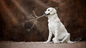 Dog Golden Retriever Pet 2048x1365 Wallpaper